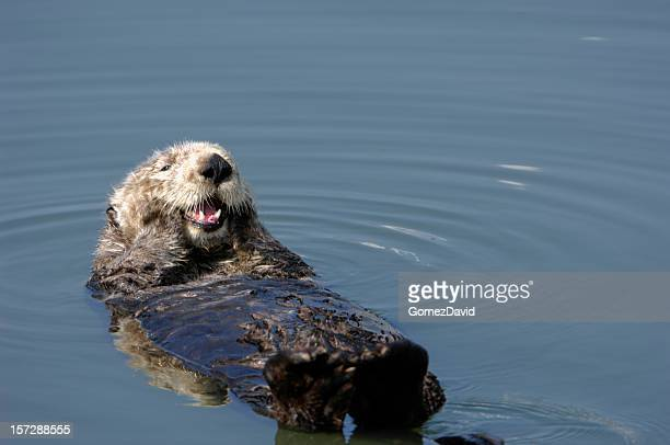 resting wild sea otter pondering floating in water. - sea otter stock photos and pictures