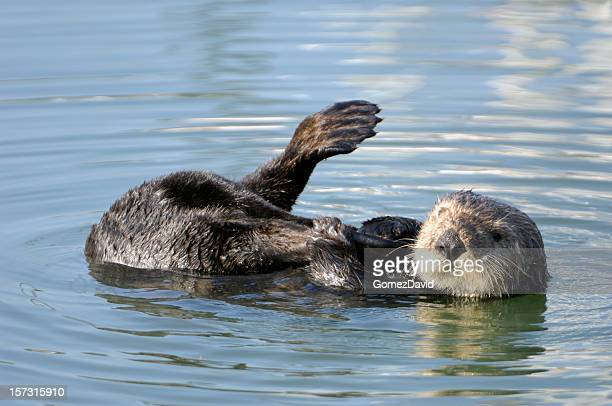 resting wild sea otter with leg in air - sea otter stock photos and pictures