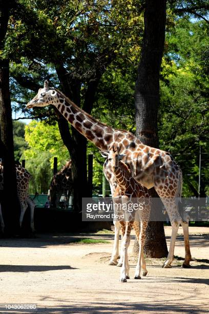 Reticulated Giraffe and a baby giraffe at the Milwaukee County Zoo in Milwaukee Wisconsin on September 14 2018