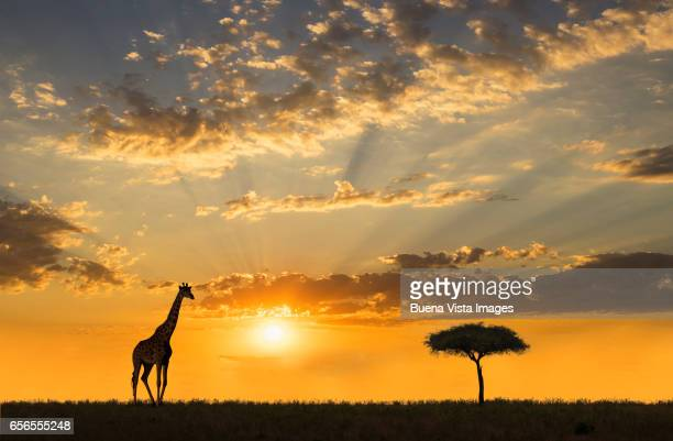 a  reticulated giraffe (giraffa reticulate) and an acacia tree in the savannah at sunset - wildlife reserve stock photos and pictures