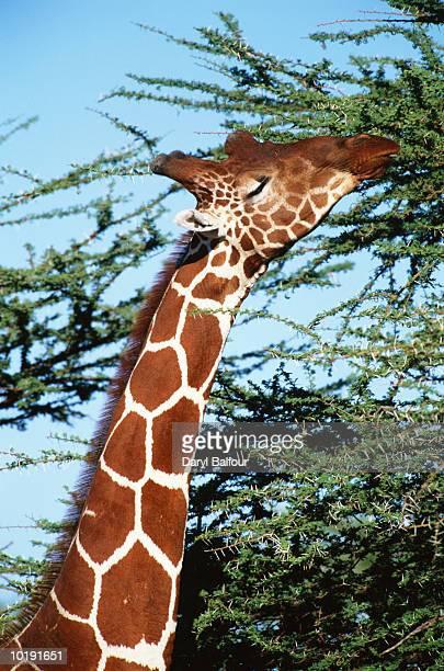 Reticulated giraffe (Giraffa camelopardalis reticulata) eating, close-
