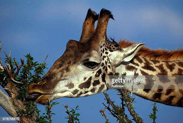 Reticulated giraffe Giraffa camelopardalis reticulata close up head eating showing the ossicones horns that are more developed in the male than in...