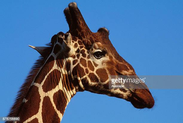Reticulated giraffe Giraffa camelopardalis reticulata close up of head showing the ossicones horns that are more developed in the male than in the...