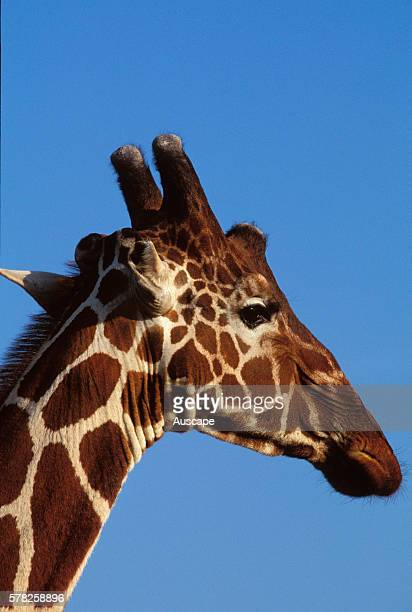 Reticulated giraffe Giraffa camelopardalis reticulata close up of head showing ossicones special horns that are more developed in the male than the...