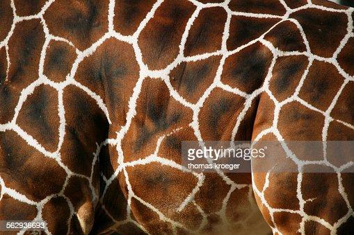 Reticulated Giraffe -Giraffa camelopardalis reticulata-, fur, detail, captive