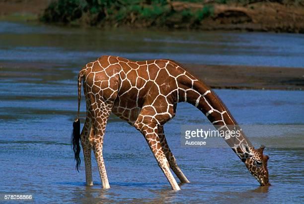 Reticulated giraffe Giraffa camelopardalis reticulata in river drinking Kenya