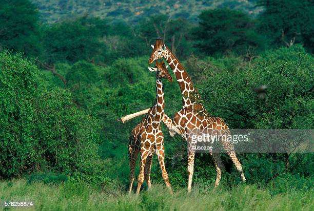 Reticulated giraffe Giraffa camelopardalis reticulata juvenile and young animal the older one with a front leg over the calf's back Kenya