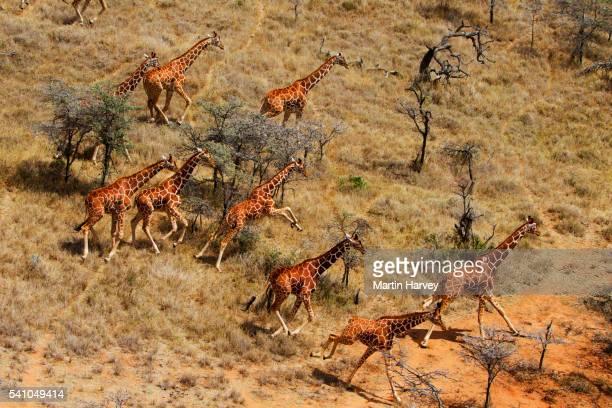 reticulated giraffe herd in kenya - kenya stock pictures, royalty-free photos & images