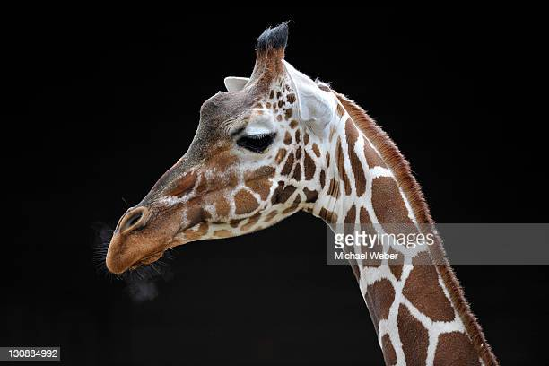 reticulated giraffe (giraffa camelopardalis reticulata), portrait - vista lateral stock pictures, royalty-free photos & images