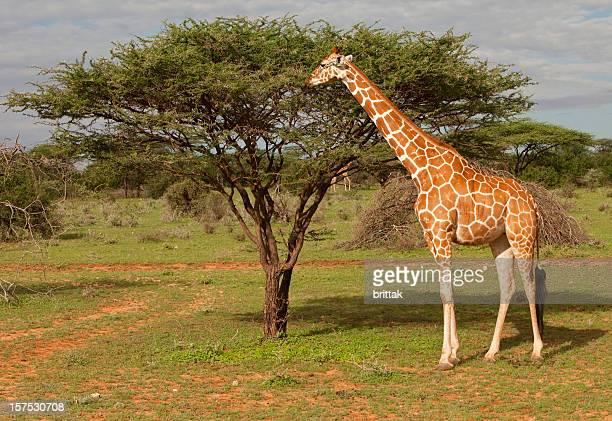 girafe réticulée parc national de samburu kenya, afrique de l'est - girafe photos et images de collection