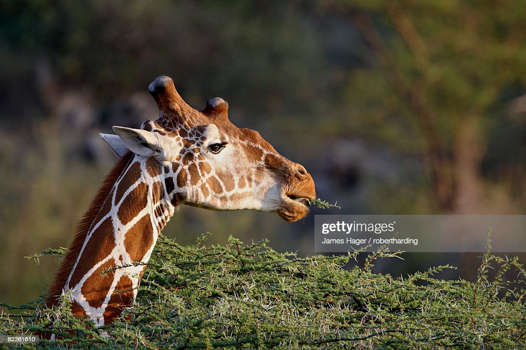 Reticulated giraffe (Giraffa camelopardalis reticulata), Samburu National Reserve, Kenya, East Africa, Africa : Stock Photo