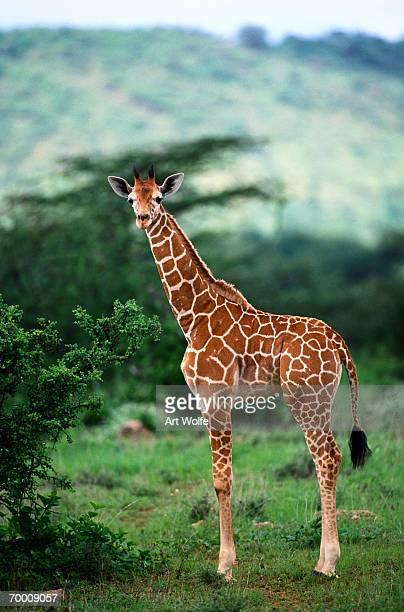 Reticulated Giraffe, Serengeti Nat. Park, Tanzania