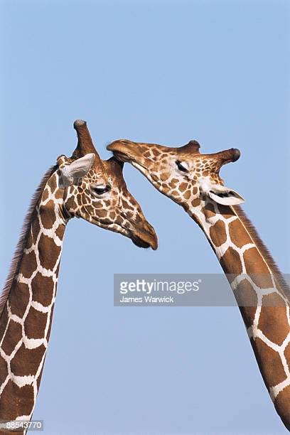 Reticulated giraffes bonding