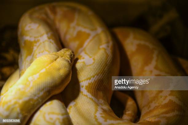 Reticulated python is seen at Neven Vrbanic snake collection Zagreb Croatia on November 02 2017 Neven Vrbanic is a Croatian snake collector with one...