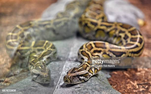 A reticulated python is seen in its enclosure at the Singapore Zoo's new Reptopia exhibit during a media preview on May 24 2017 Singapore zoo will...