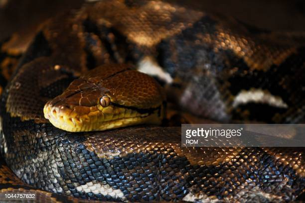 reticulated python (python reticulatus), zoo, bali, indonesia - squamata stock photos and pictures