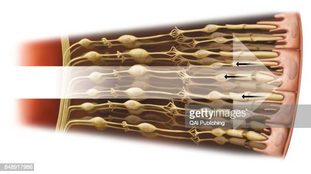 Retina cell Cells found in the retina there are the rods and the cones