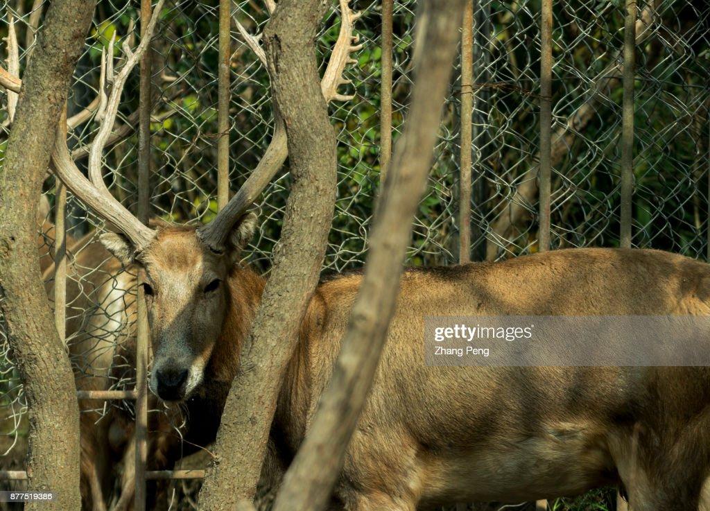 Retired Former King Deer Living In Dafeng Milu Natural Pictures