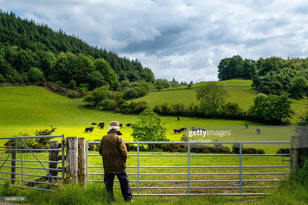 Retired man looking at cattle grazing in a field : Stock Photo