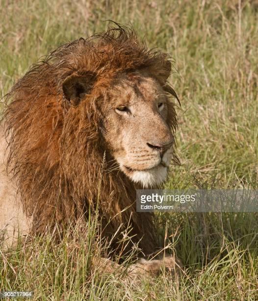 retrato de león