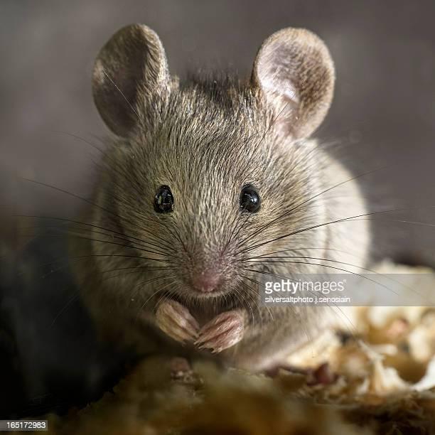 retrato de ratón