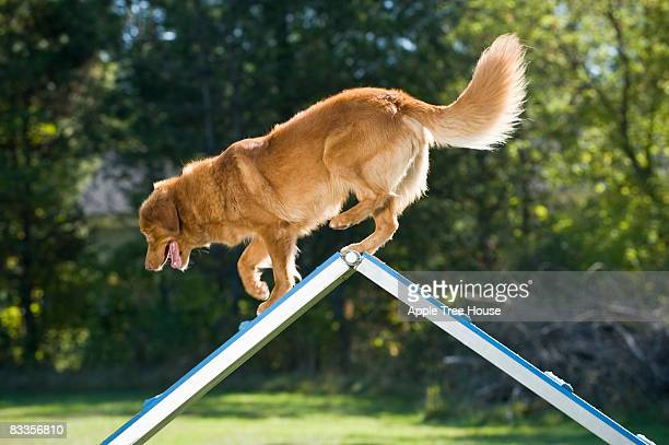 retriever at peak of a-frame - americas next top dog stock pictures, royalty-free photos & images
