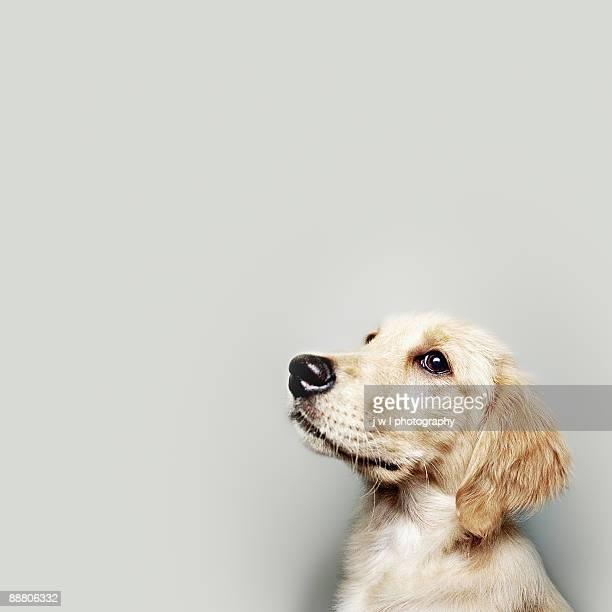 retriever pup - golden retriever stock photos and pictures