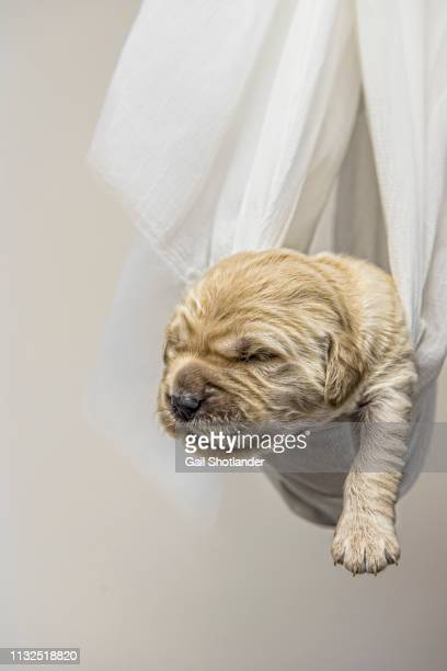 Retriever Puppy Slung