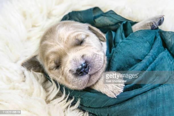 Retriever Puppy Swaddled