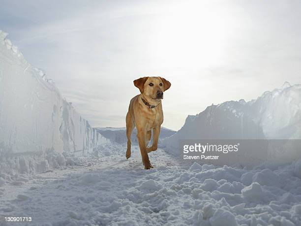 Retriever running in corridor of plowed snow
