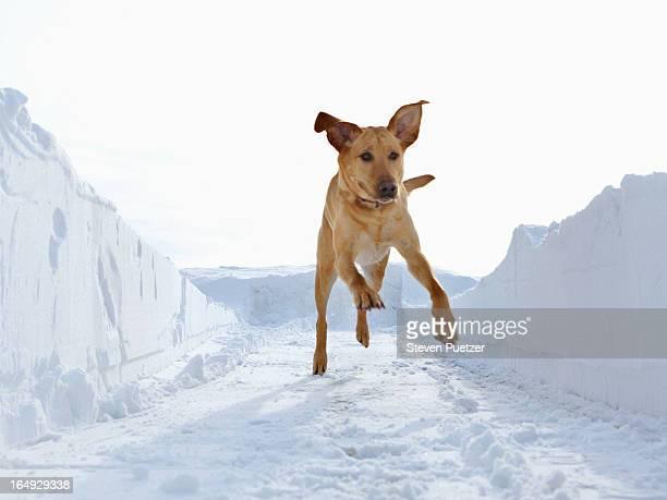 Retriever running in corridor of plowed snow