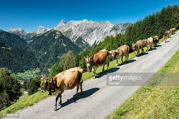 devolución de ganado desde el praderas alpinas - eden pastora fotografías e imágenes de stock