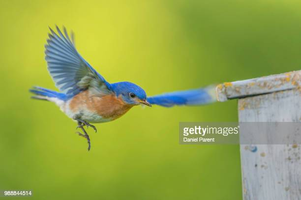 returning to the nest... - eastern bluebird stock pictures, royalty-free photos & images