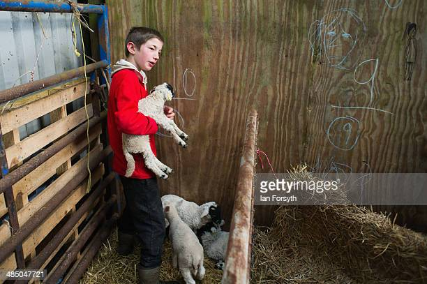 Reuben Owen checks on new born lambs at Ravenseat the farm of Yorkshire Shepherdess Amanda Owen on April 15 2014 near Kirkby Stephen England Amanda...
