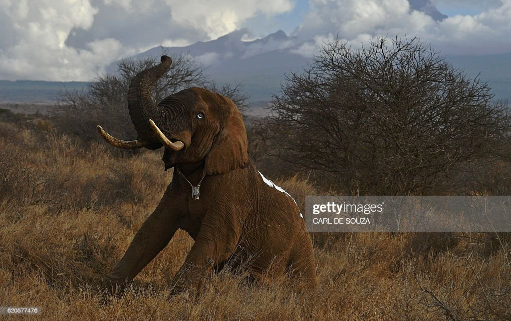 A revived elephant, wearing a fitted electronic collar, gets up after its tranquilizer was reversed by vets at the Amboseli National Park on November 2, 2016. The International Fund for Animal Welfare (IFAW) is collaring two young male elephants from the Amboseli region to better understand their migration routes. As Kenya's population increases dramatically every year more land traditionally used by elephants as routes is being populated and developed and elephants have been impacted. IFAW intends to study data from the collared elephants movements to plot how this impact affects them. / AFP / CARL