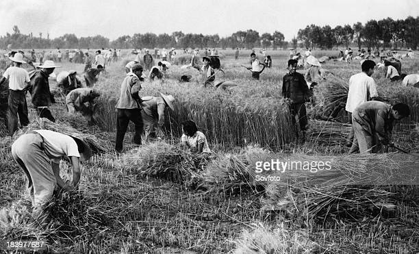 Revolutionary teachers and students of the Peking Aeronautical Engineering Institute harvesting wheat with members of the Tungpeiwang Commune near...