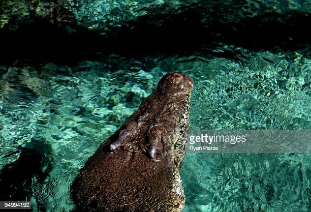 Rex one of the world's biggest crocodiles at around 5m long and 700kg is unveiled to the public in his new Kakaduthemed home at Sydney Wildlife World...
