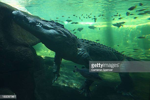 Rex one of the world's largest crocodiles sits in the water prior to being fed at WILD LIFE Sydney Zoo on October 3 2012 in Sydney Australia The...