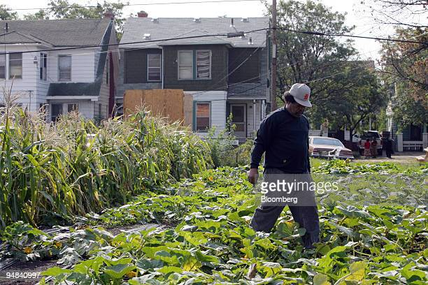Reynaldo Medina weeds and tends to crops at an Urban Farming plot off Linwood Avenue in Detroit Michigan US on Monday Sept 22 2008 The lot in...