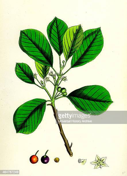 Rhamnus Frangula Berrybearing Alder