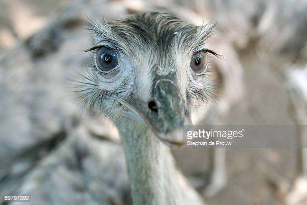 rhea  looking into the lens - stephan de prouw stock pictures, royalty-free photos & images