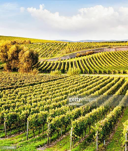 Rheingau autumn vineyard