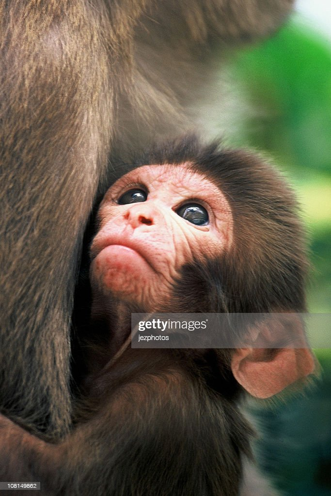 Rhesus Macaque Infant Gazing in mothers arms : Stock Photo