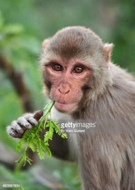 Rhesus Macaque (Macaca mulatta), Jaipur, Rajasthan, India