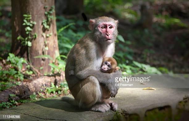 Rhesus Macaque Monkey in Zhangjiajie National Park