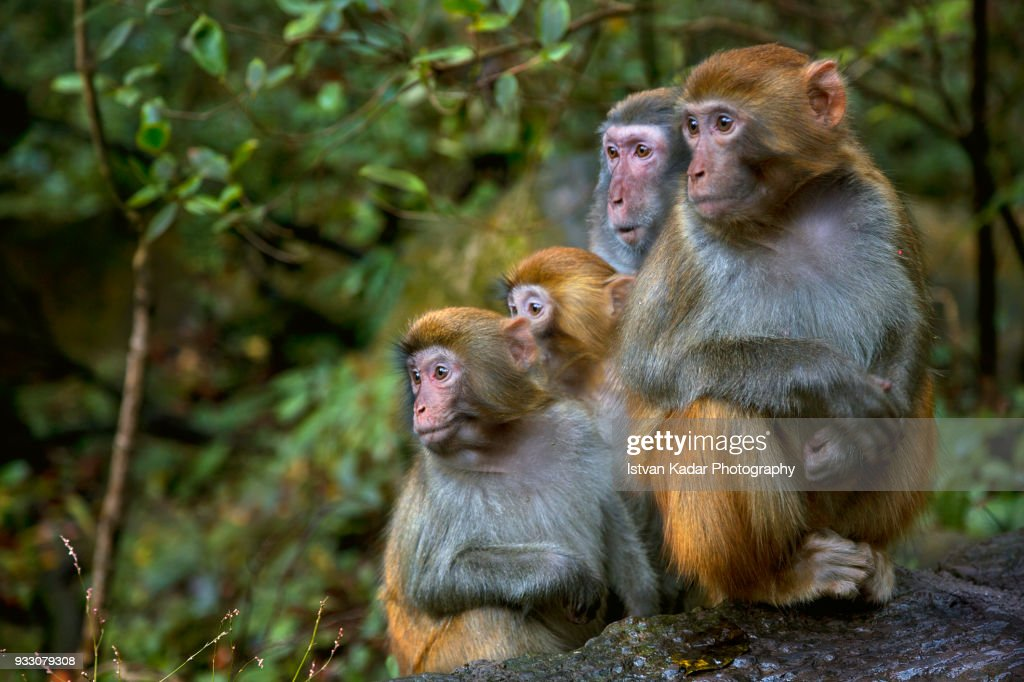 Rhesus Macaque Monkeys (Macaca mulatta), Zhangjiajie National Forest Park, China : Stock Photo