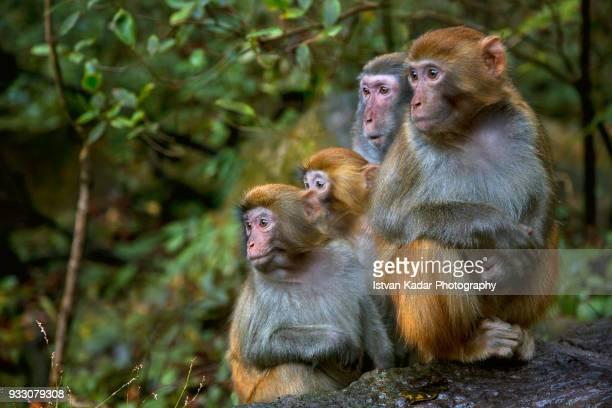 rhesus macaque monkeys (macaca mulatta), zhangjiajie national forest park, china - monkeys stock pictures, royalty-free photos & images