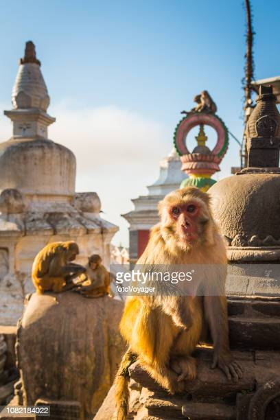 rhesus macaque on stupa shrines swayambhunath monkey temple kathmandu nepal - nepal stock pictures, royalty-free photos & images