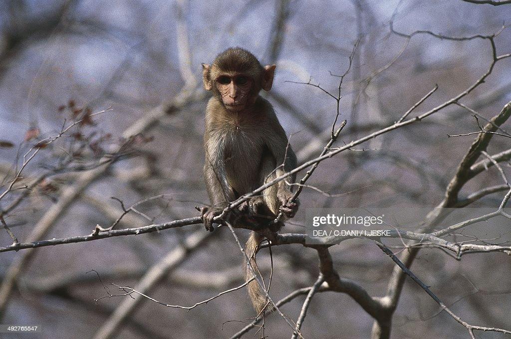 Rhesus macaque or Nazuri monkey (Macaca mulatta)... : News Photo