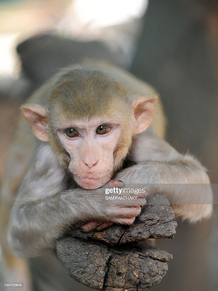 A rhesus macaque relaxes in its enclosur : News Photo